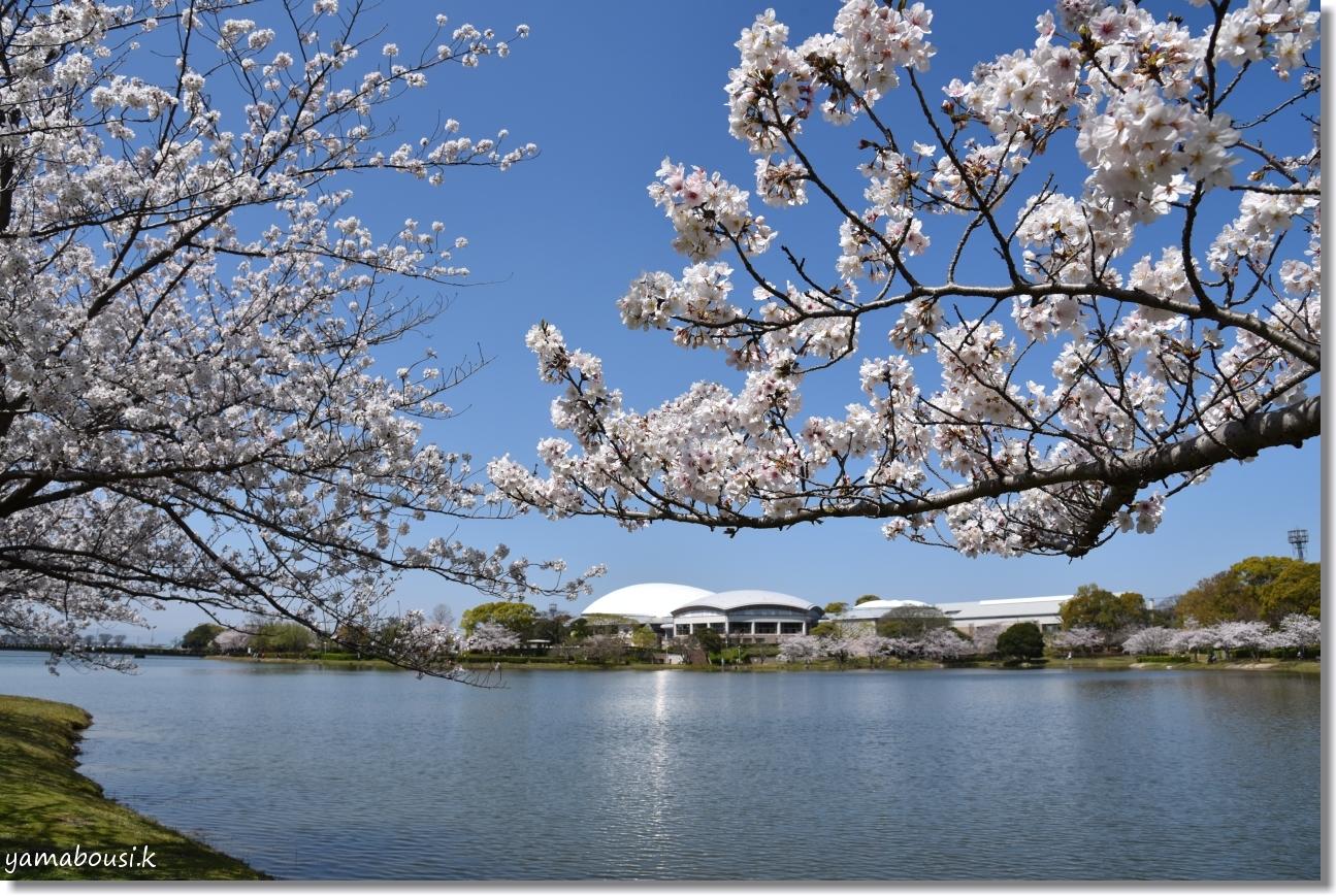 駕与丁(かよいちょう)公園 桜輝く春に。3