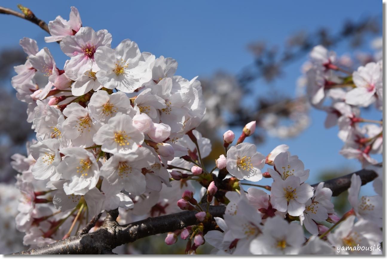 駕与丁(かよいちょう)公園 桜輝く春に。4