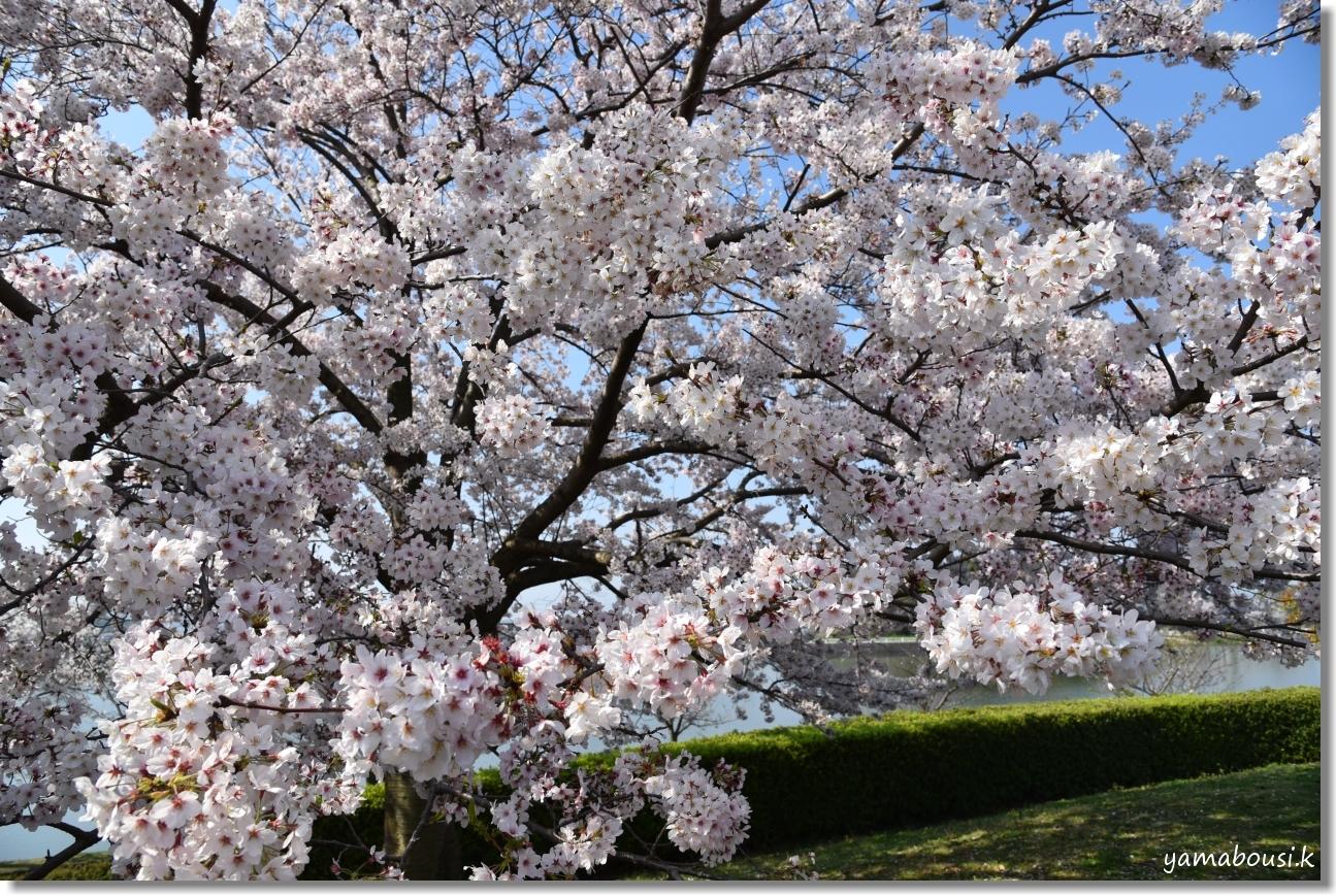駕与丁(かよいちょう)公園 桜輝く春に。6