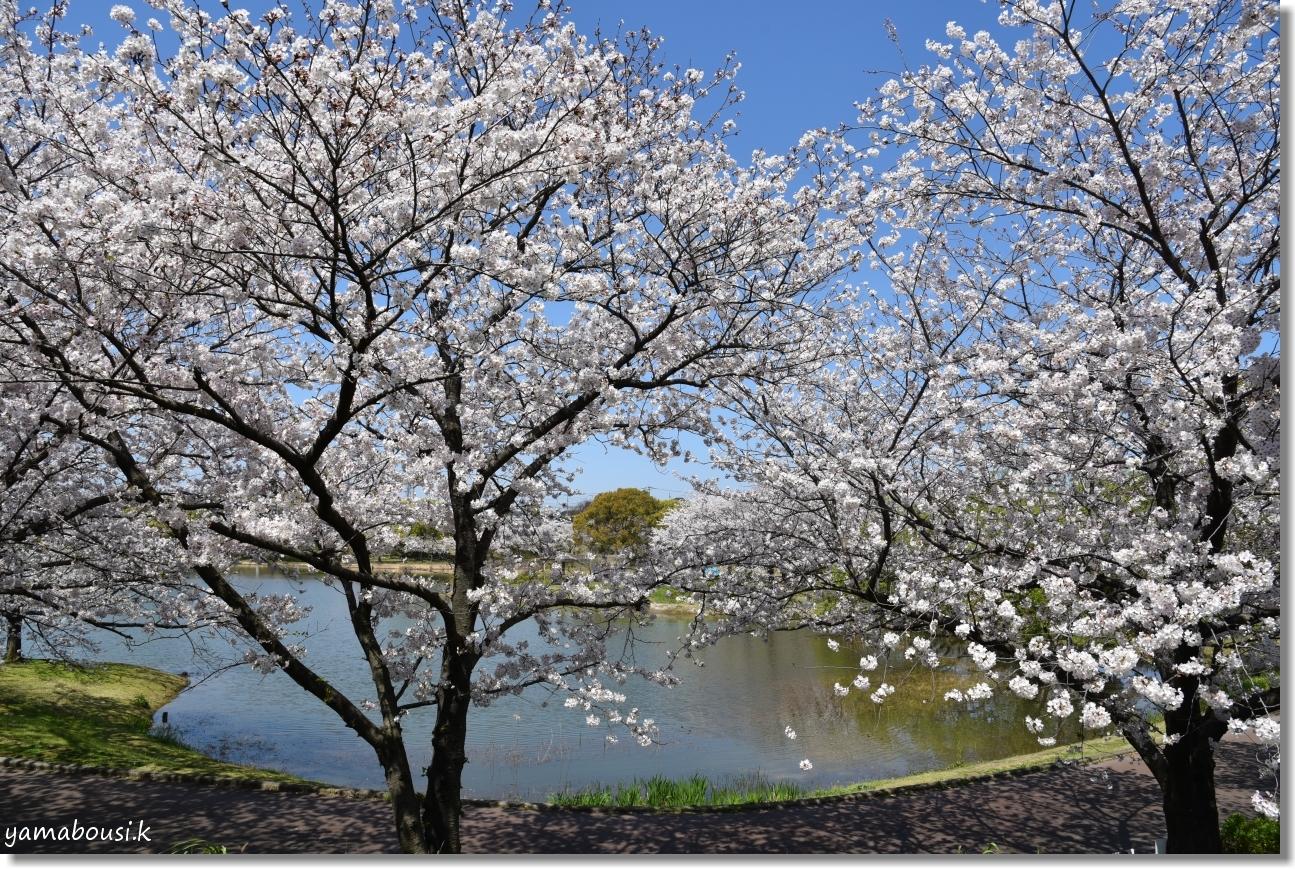 駕与丁(かよいちょう)公園 桜輝く春に。7