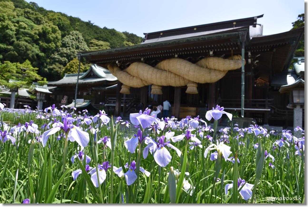 宮地嶽神社(2020)菖蒲が咲く頃に 8