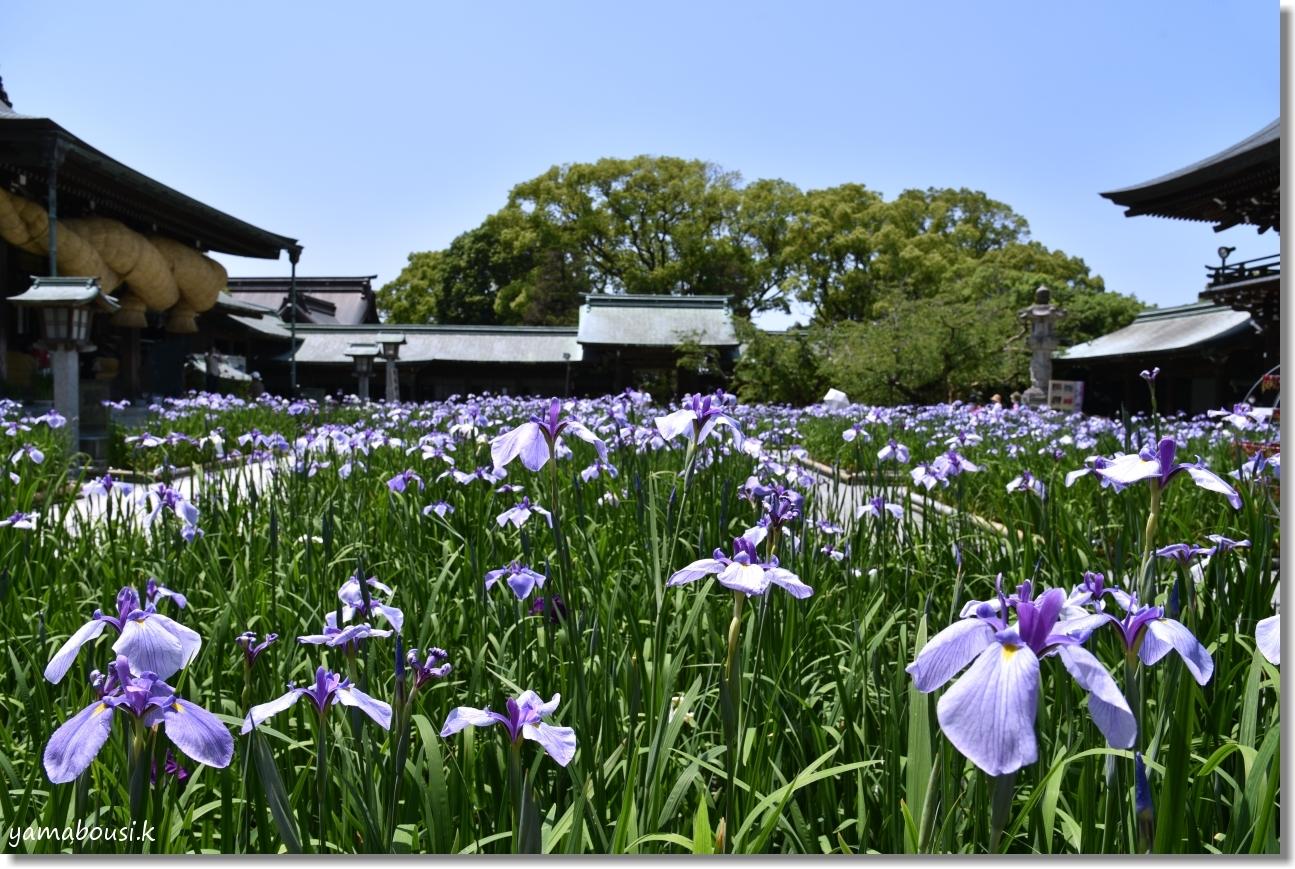 宮地嶽神社(2020)菖蒲が咲く頃に 11