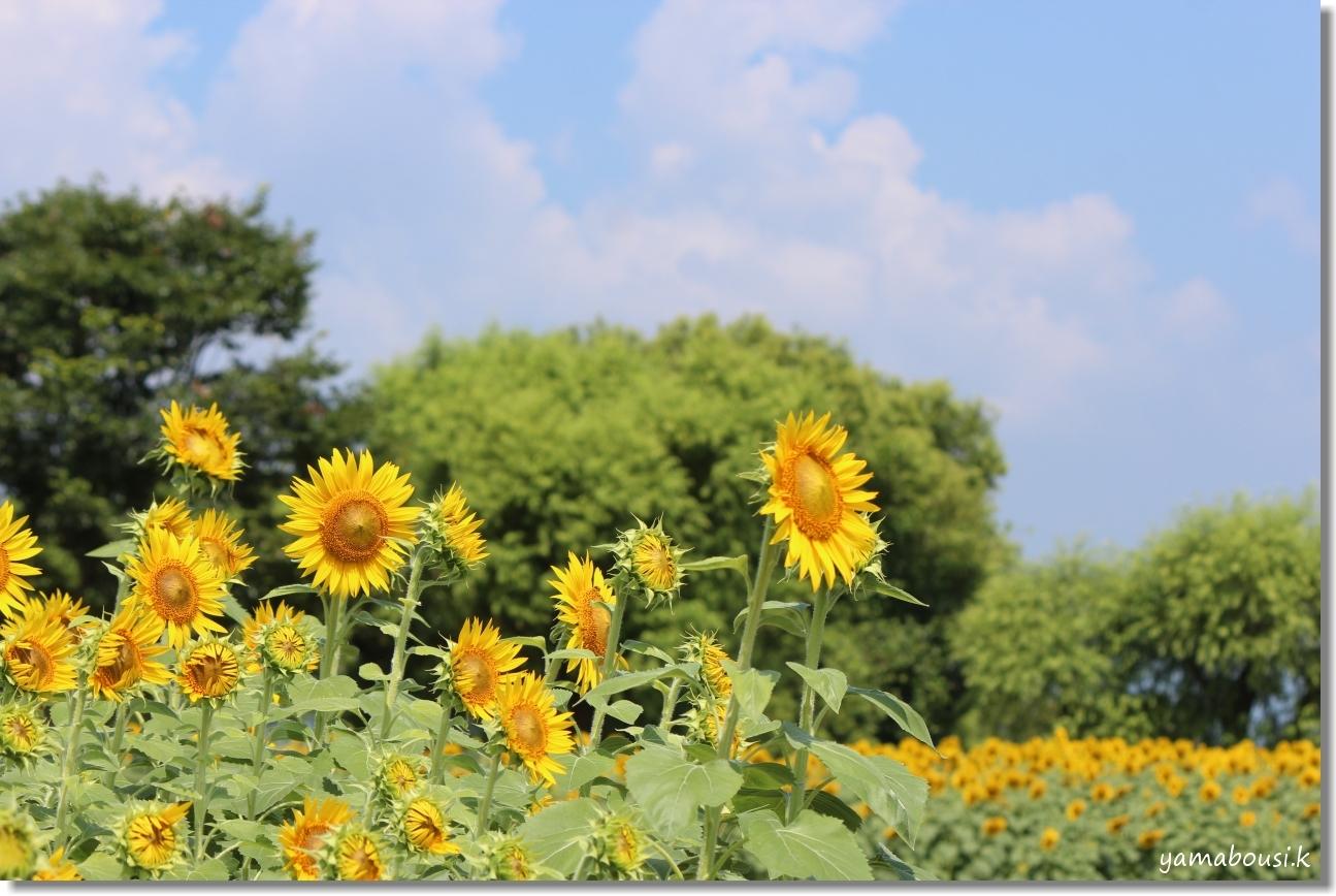太陽に向かって咲く花 ひまわり(向日葵) 1