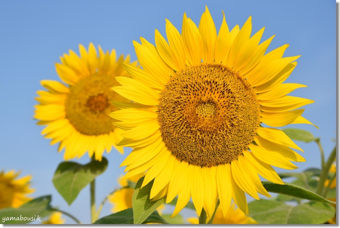 太陽に向かって咲く花 ひまわり(向日葵) 2