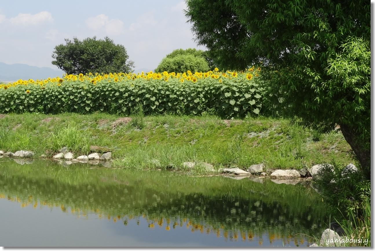 太陽に向かって咲く花 ひまわり(向日葵) 3