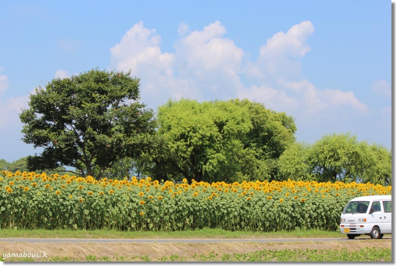 太陽に向かって咲く花 ひまわり(向日葵) 4