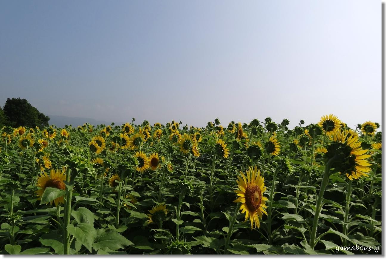 太陽に向かって咲く花 ひまわり(向日葵) 6