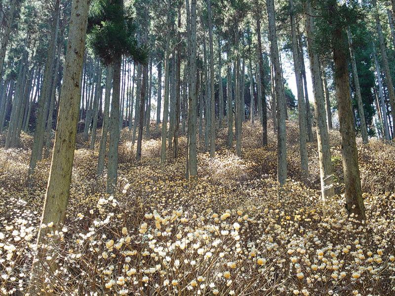 「野倉の里 ミツマタの森 (大分県九重町)」満開!杉林一面の黄色い幻想的光景