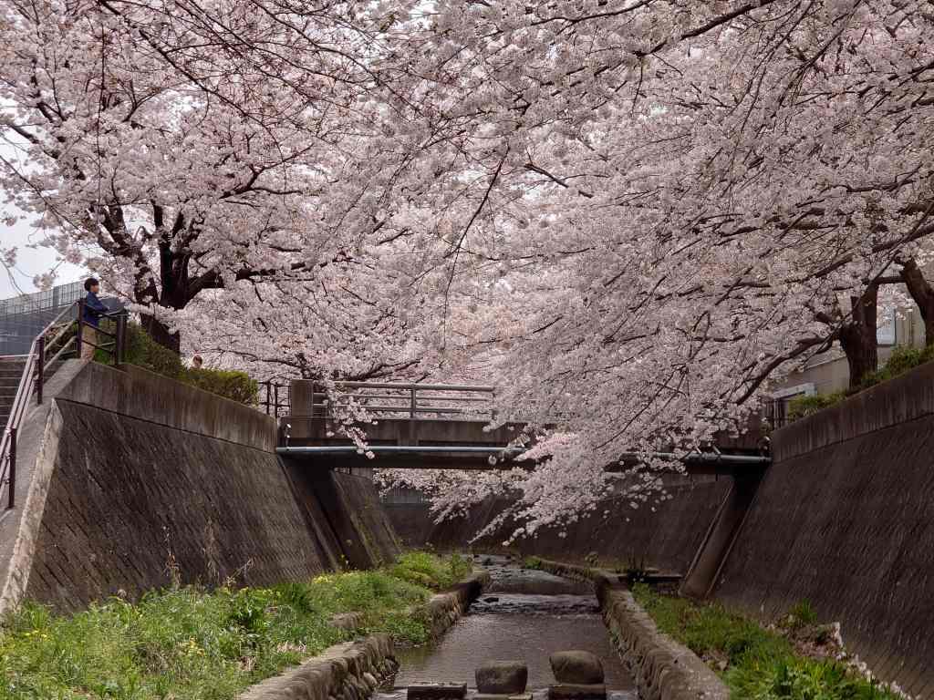 「志井川の桜(北九州市小倉南区)」満開の桜並木をゆったりと楽しめるスポット