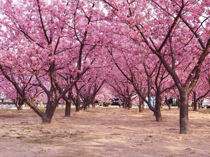 「道の駅 萩しーまーと(山口県萩市)」親水公園の河津桜!早咲きのピンクの桜が目線で楽しめる空間