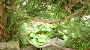垣根の隙間から。早春にはフキノトウが芽を出す。葉も柔らかい内が食べごろかな。a
