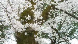 三週間位前の神社の桜。a