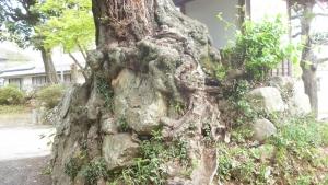 神社の石を抱き込んだ椎の木a