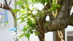 青梅では10年位前、病気の梅は全て伐採されたが、我が家では残った小梅の木。 (1)